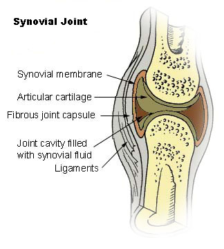 synovial_joint